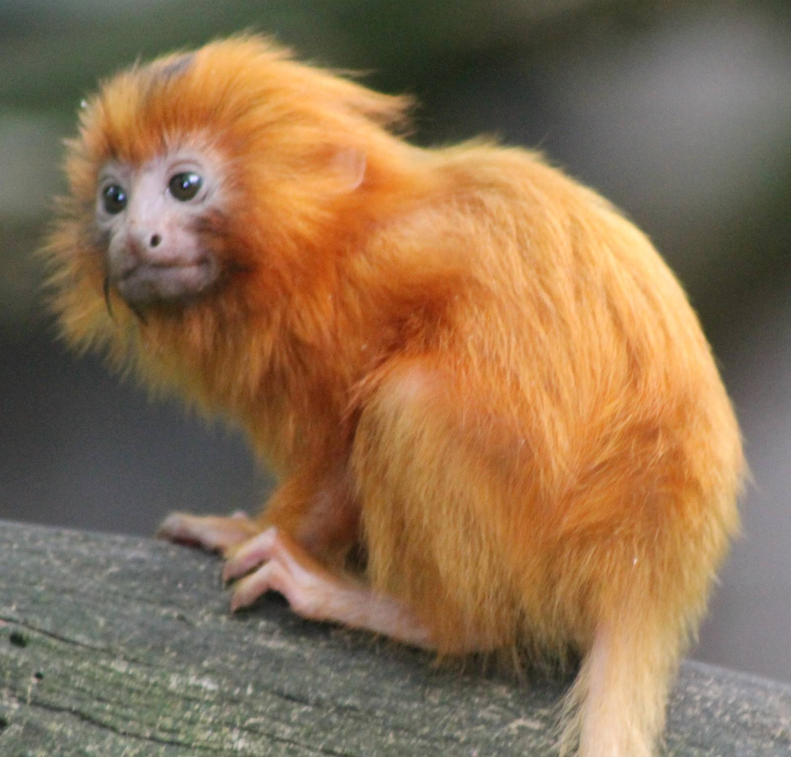 Golden_Lion_Tamarin.jpg